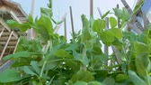 garden bed : Young pea plants grow on supports in a garden backyard.