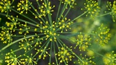 flower bed : Close-up of dill inflorescence. Small yellow flowers of dill growing on a garden bed. View from above. Stock Footage