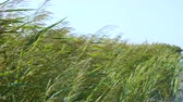высокий : Thickets of reeds along the sea coast. Spikelets sway in the wind. Стоковые видеозаписи