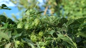 hop garden : Humulus lupulus (common hop or hops) plant. Stock Footage