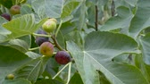feuille de vigne : Ripening fruits of figs on the Ficus carica tree. Rainy weather.