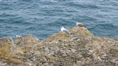 gras : Gulls sit on the edge of a cliff next to the sea. Stockvideo