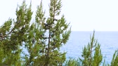 ginepro : Juniper plants with berries on the background of the Black Sea.
