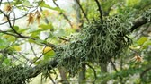 дуб : Dense green lichen (Evernia prunastri) on an oak tree branch in an autumnal mountain forest. Стоковые видеозаписи