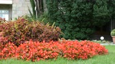baksteen : Coleus (Plectranthus scutellarioides) and Begonia semperflorens on the lawn in the garden. Stockvideo