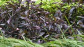 natürliche schönheit : Thickets of Tradescantia pallida on the flower garden. Stock Footage