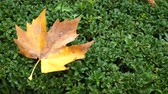 ahornbaum : A yellow maple (Acer saccharum) leaf lies on a hedge from Euonymus japonicus Microphyllus. Close up.