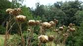 perennial : Dried artichoke flowers in a natural park.