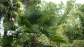 trachycarpus : Trachycarpus fortunei palm in a natural park. Stock Footage
