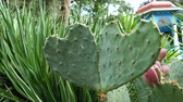 natürliche schönheit : Close-up of two prickly leaves of a cactus (prickly pear, opuntia) in the shape of a heart.