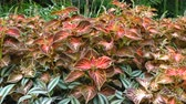 цветочный узор : Bright decorative leaves of a Coleus blumei (Plectranthus scutellarioides) plant in a flower bed in the garden.
