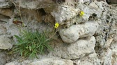 odolný : The plant Erysimum pusillum hayekii grows on an old stone wall. Dostupné videozáznamy