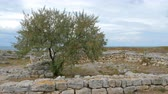 ziegel : The tree of Elaeagnus angustifolia (Russian olive) growing on the ruins of an ancient city near the sea.