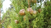 тосканский : Cones of evergreen coniferous tree Cupressus sempervirens. Стоковые видеозаписи