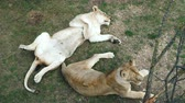 chat : Two lionesses lie and rest on the territory of the zoological park.
