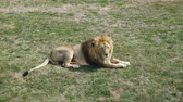 chat : The lion lie and rest on the territory of the zoological park.