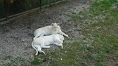 chat : Two white young lions lie and rest on the territory of the zoological park.