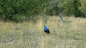 cores vibrantes : Peacock on the territory of the zoo in the high dry grass. Stock Footage