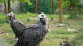 捕食性の : Black vulture (Aegypius monachus) in the zoo aviary. 動画素材