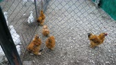 volaille : White and red decorative chickens in the farm aviary. Vidéos Libres De Droits