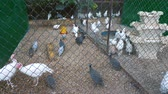 volaille : Birds of different species (turkeys, chickens, guineafowl) on the farm.