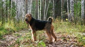hound : Dog breed Airedale Terrier walks in the autumn birch forest. Stock Footage