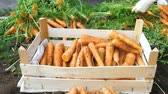 нож : The farmer (gardener) cuts the tops of the carrots and puts the carrots in a wooden box. Harvesting for winter storage. Ripe big root vegetables. Close up.