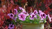 tencere : Potted petunias in the autumn garden amid faded Five-leaved ivy (Parthenocissus quinquefolia, Virginia creeper).