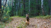 hound : A dog breed Airedale Terrier runs along the path in the coniferous and birch forest. Autumn time. Stock Footage