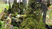 houtrot : Green moss on a birch tree stump in the autumn forest.