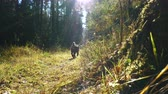 hound : Airedale Terrier breed dog walks along the sun-drenched path in the autumn coniferous forest.