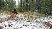 correção : The young cheerful dog of the Airedale Terrier breed runs through the autumn forest covered with a thin layer of snow. Stock Footage