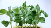 ervilha : Time lapse of pea seeds germination. Plant seedlings grow upwards. White background. Macro shot.