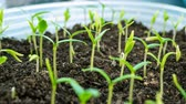 campana : Time lapse seedlings of bell pepper. Plants are planted in loose fertile soil. Macro shot.