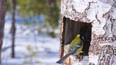 sikorka : Birds eat sunflower seeds from the feeders in the winter forest of a natural park.