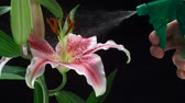 floreios : Spraying water on flower lily shooting with high speed camera, phantom flex. Vídeos