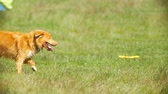 disiplin : Funny red dog running on the grass in sunny day Stok Video