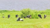 úbere : Herd of cows grazing on a green grass near the river in sunny day