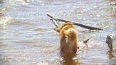 fresh caught : Funny dog drink water from the river in sunny day