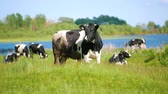 úbere : Cows graze in the meadow on the pasture near the river in sunny day