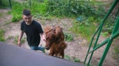 setter : Young man trains his dog - irish setter climbs the stairs