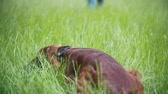 hüner : The dog - irish setter lies on the grass at summer park