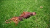 setter : The dog irish setter lying in the grass at park - slow motion Stock Footage