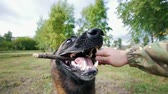 snatch : The dog grabs a stick from the owners hands. First-person view. Slow motion