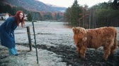 búfalo : Dolomites. Fluffy bison grazing on the snow field. Yound redhead woman looking at it