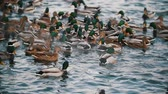 patinho : A flock of ducks swimming in the lake. Close up