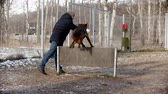 cane pastore : A man training german shepherd dog on the training field - a dog jumping over the barrier after the stick Filmati Stock
