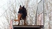 cane pastore : dog training - dog is sitting on a stairs obstacle Filmati Stock