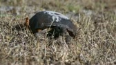 telephoto lens : A young Gopher Tortoise is walking through the grass towards the viewer. The Gopher Tortoise is an endangered species in Florida.