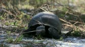 telephoto lens : Ground level footage of an adult Gopher Tortoise feeding on grass and slowly moving towards viewer. The Gopher Tortoise is an endangered turtle in Florida. Stock Footage